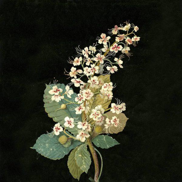 Mary Delany - Horse Chestnut (1776)